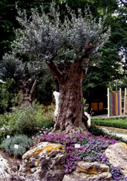 Ulivo l 39 albero sacro for Aiuola con ulivo
