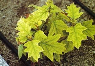 Clorosi ferrica delle piante dispositivo arresto motori for Piante secche ornamentali