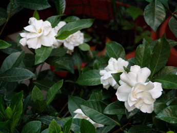 Caduta dei boccioli in una gardenia - Gardenia pianta da giardino ...