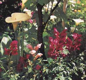 Il segreto per coltivare le calle terreno umido e ricco for Calle colorate non fioriscono
