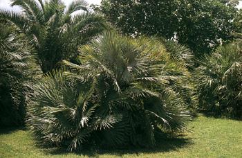 Le belle dei tropici for Palma di san pietro