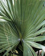 Le belle dei tropici - Palme nane da giardino ...