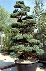 Pin ilex crenata on pinterest for Bonsai da esterno