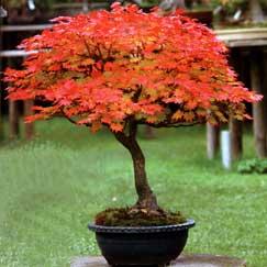 Bonsai piccole piante grandi emozioni for Tipi di bonsai