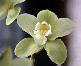 L 39 altra orchidea il cymbidium - Orchidea da esterno cymbidium ...