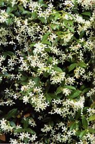 Trachelospermum jasminoides for Falso gelsomino in vaso