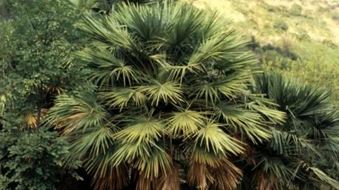Palme coltiviamole anche al nord - Palme nane da giardino ...