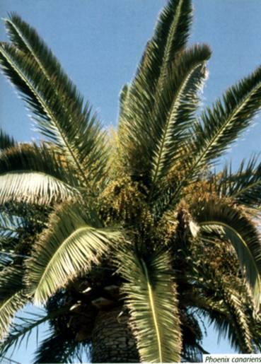 Sorrento si schianta una palma e nessun ferito for Palma pianta
