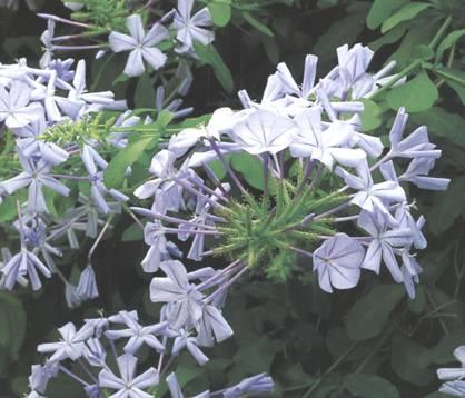 Plumbago in 10 domande for Pianta rampicante con fiori viola a grappolo