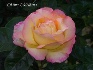 Il supremo la riproduzione della rosa for Riproduzione rose