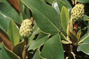 Magnolie regine di primavera for I semi della pigna