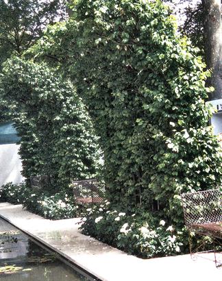 Ortensie rampicanti da esterno piante rampicanti fiorite - Piante antismog ...