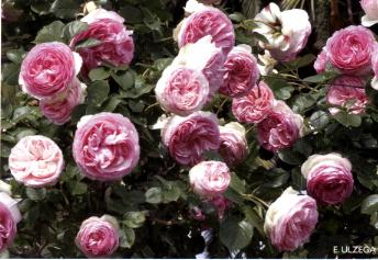 Pierre de ronsard una rosa amata in tutto il mondo for Pierre de ronsard rosa