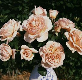 Signore In Rosa