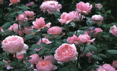 Austin il nome delle rose for Rose inglesi